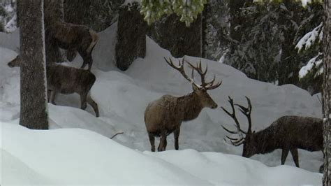Cerf / Hiver / Forêt   HD Stock Video 402-830-430
