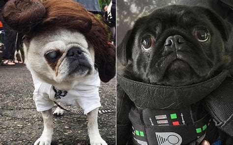This Star Wars pug parade proves Jedis can be cute