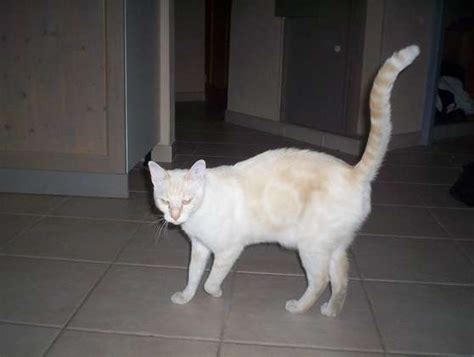 PERDU DOLLY chat male blanc taches roux tres clair, yeux