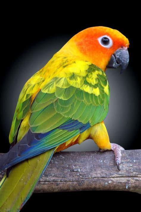 106 best Conures images on Pinterest | Budgies, Parakeets